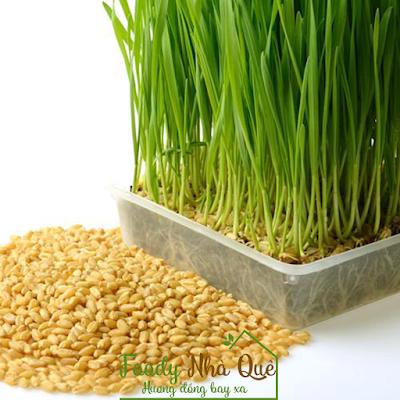 cỏ lúa mì trị ung thư