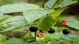 Huckleberry fruit images wallpaper