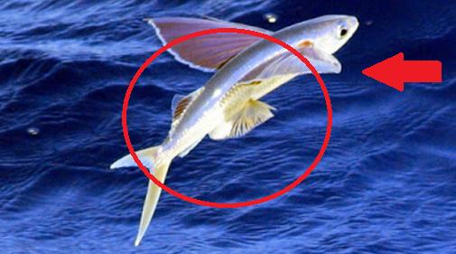 Flying Fish, Ikan yang Bisa Terbang Sejauh 400 Meter + Foto Ikan Terbang