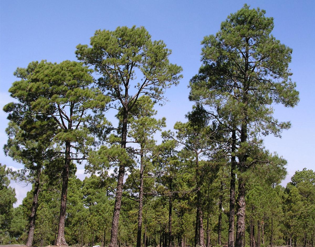 parquets el drago la madera en canarias pino canario