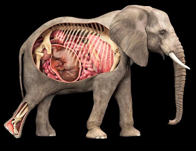 Quelle est la durée de gestation d'un éléphant ?