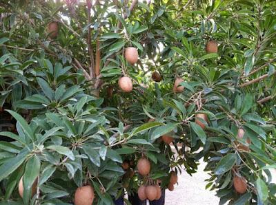 https://tipspetani.blogspot.com/2019/01/cara-perawatan-pohon-sawo.html