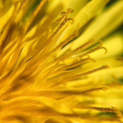 Dandelion flower, taken with iPhone 6s and Olloclip macro lens