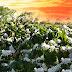 Mùa hoa cà phê tuyết trắng trên núi rừng tây nguyên
