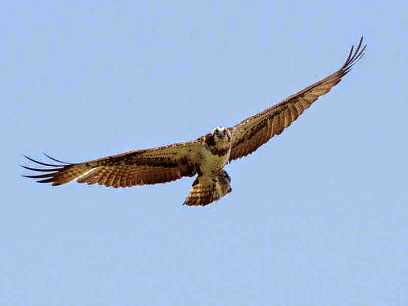 flying osprey, bird
