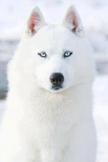 I want a white dog with blue eyes