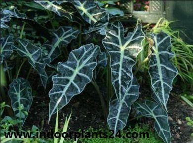 Alocasia sanderiana indoor house plant image