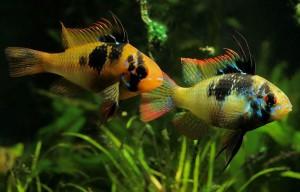 Dunia Ikan Hias - German Blue Ram