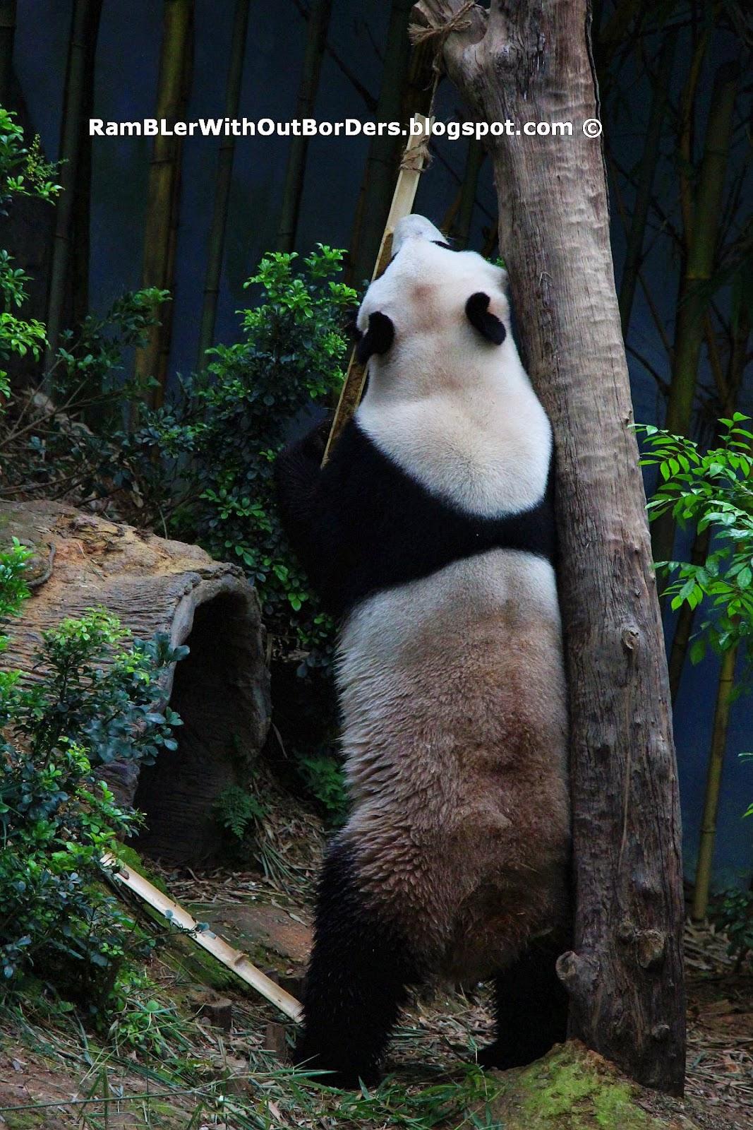 Panda, River Safari, Singapore