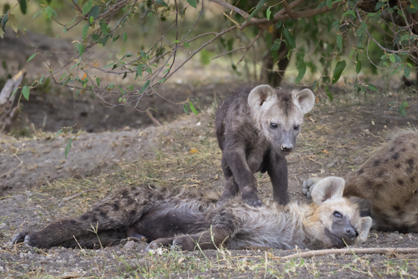 Hyena cubs playing