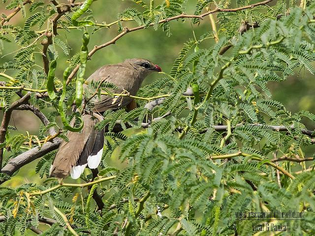 sirkeer cuckoo