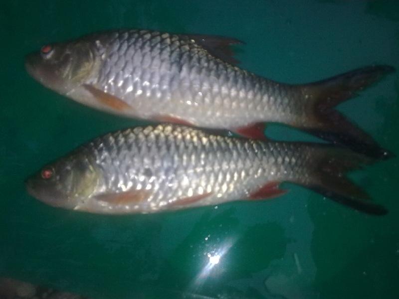 perbedaan ikan tawes jantan dan betina
