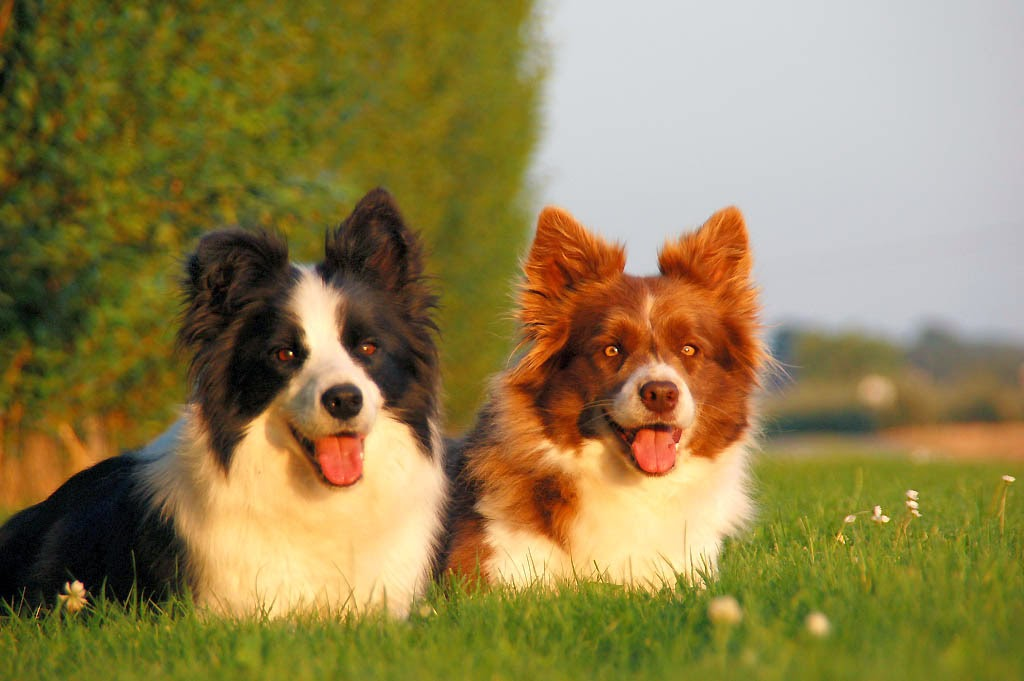 Everything about your Border Collie