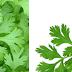 Coriander (Dhaniya) Herb Name in different Indian languages (regional)
