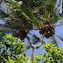 Pohon Kelapa Ajaib, Bercabang Dua, di Bawahnya Terkandung Minyak Bumi