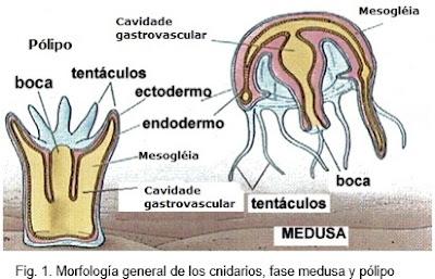Poliplacoforos reproduccion asexual de las plantas