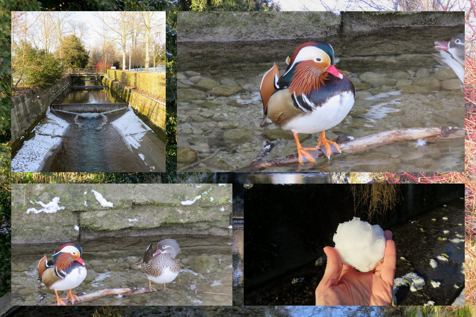 Mandarin ducks on Hornbach in Zurich