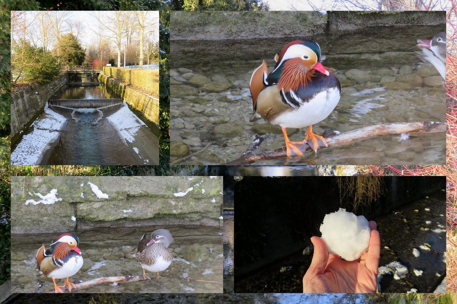 Mandarin ducks on Hornbach in Zurich
