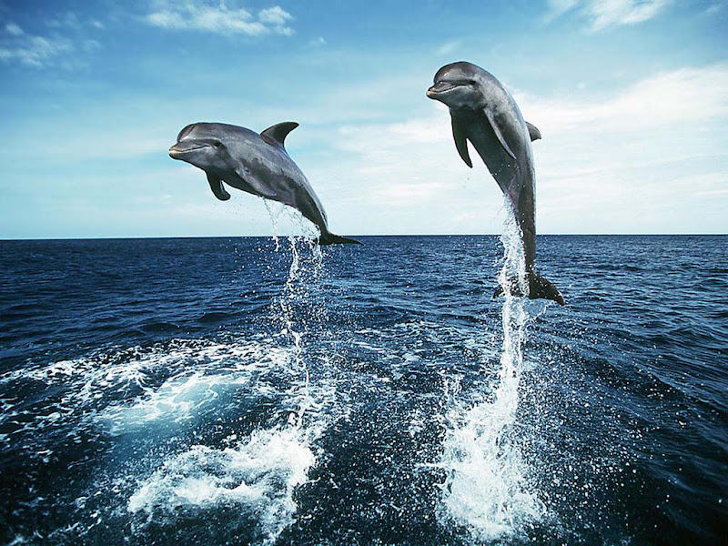 wallpapers dolphin desktop wallpapers dolphin wallpapers for laptop title=