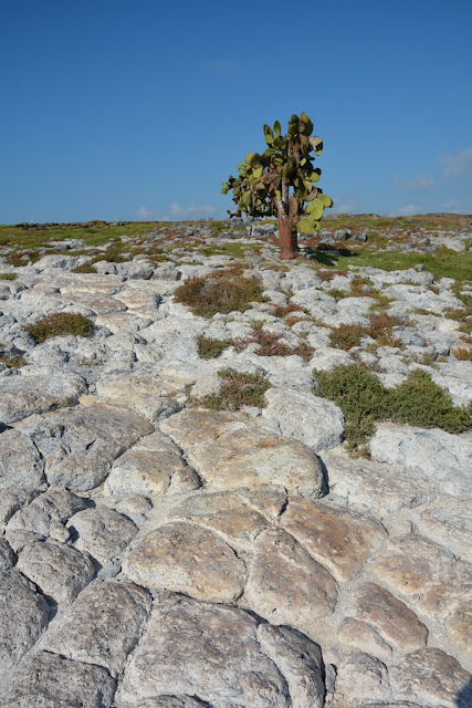 South Plaza Island cactus tree