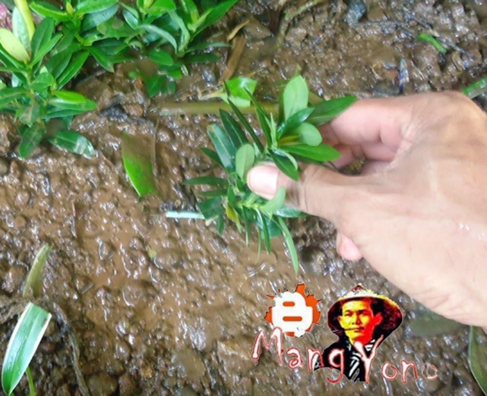 Poto (4). penancapan / penanaman batang soka