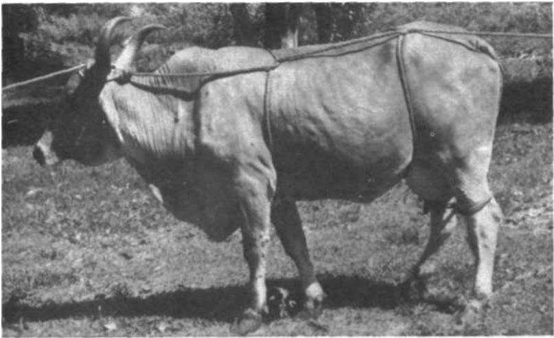 metodo-rueff-derrubamento-contencao-bovinos