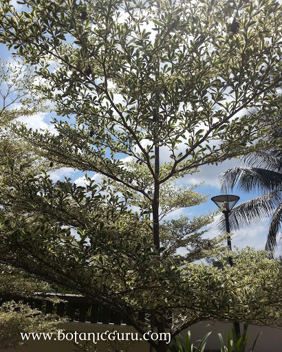 Bucida molineti, Spiny Bucida, Spiny Black Olive, Dwarf Geometry Tree