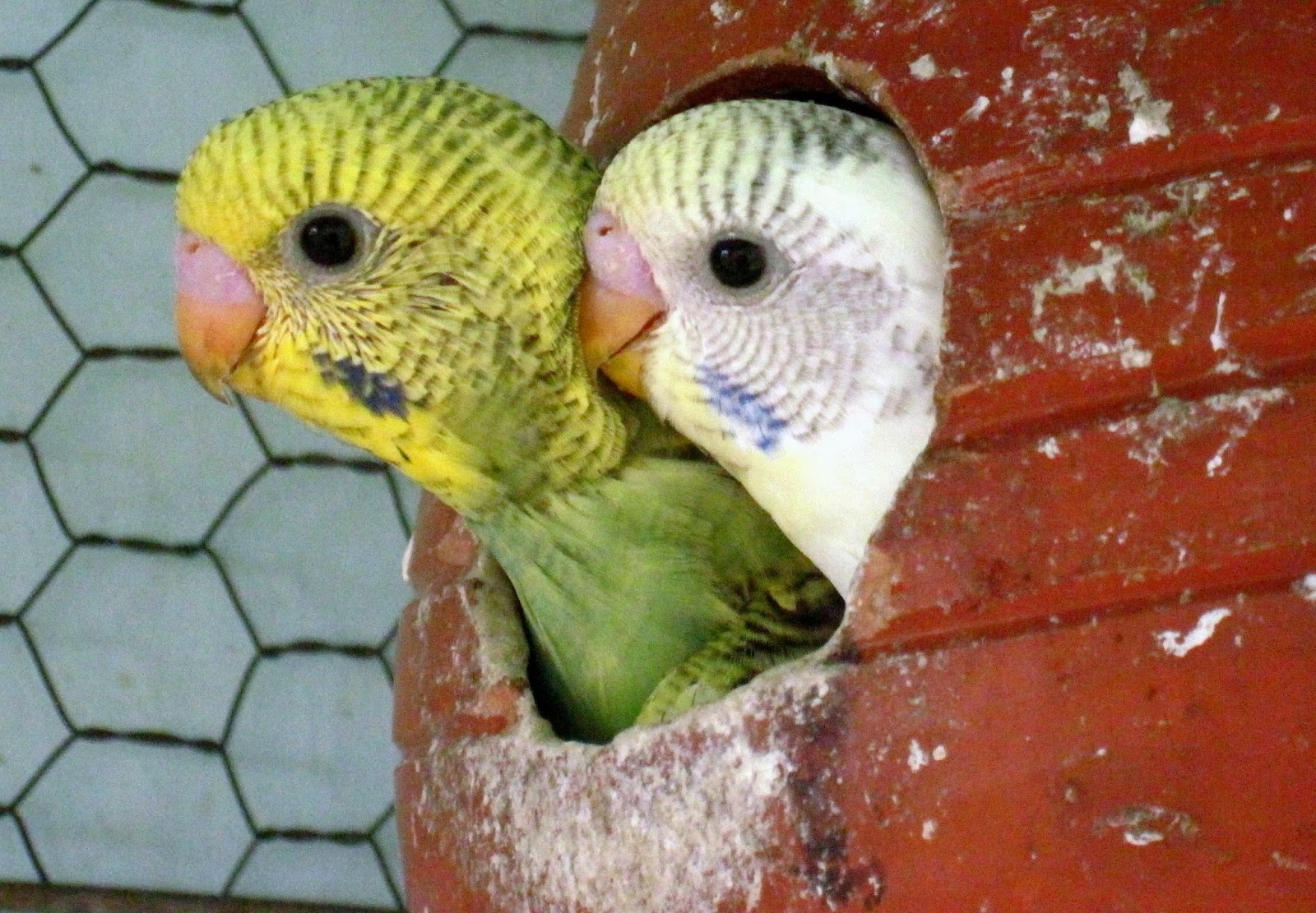 A layman's journal: HOW THE BUDGIES OR THE BADRIS ARE