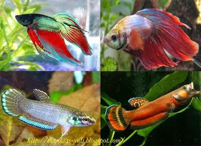 Jenis Jenis Ikan Cupang Spesies Cupang Alam