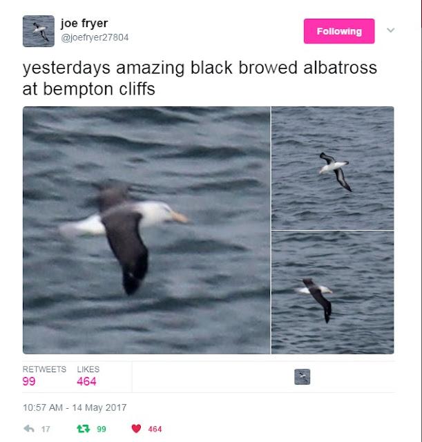 Black-browed Albatross at Bempton - Joe Fryer