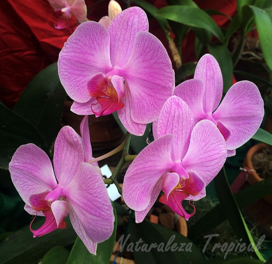 Pétalos y sépalos blanco-rosados con líneas violetas y labelo púrpura. Orquídea Mariposa (género Phalaenopsis)