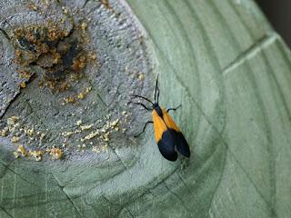 Lithosie orangée - Lycomorpha pholus