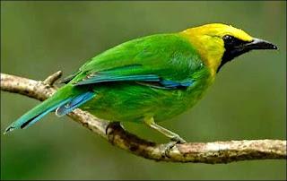 burung cucak ijo banyuwangi asli bukan dari kalimantan