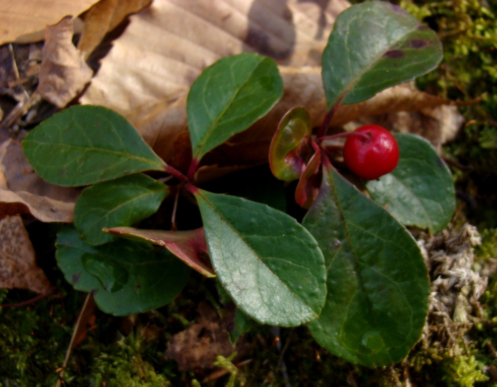 Weedpicker's Journal:: Winter's Green
