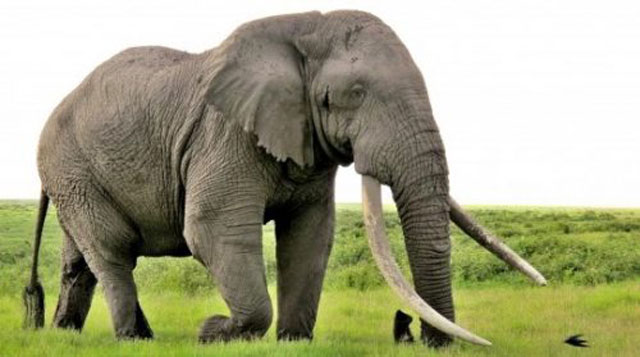 Gading Gajah Aslinya Adalah Gigi