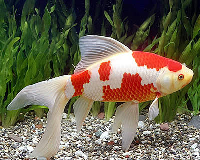 Ornamental Fish: Excess Fish Farming Comet