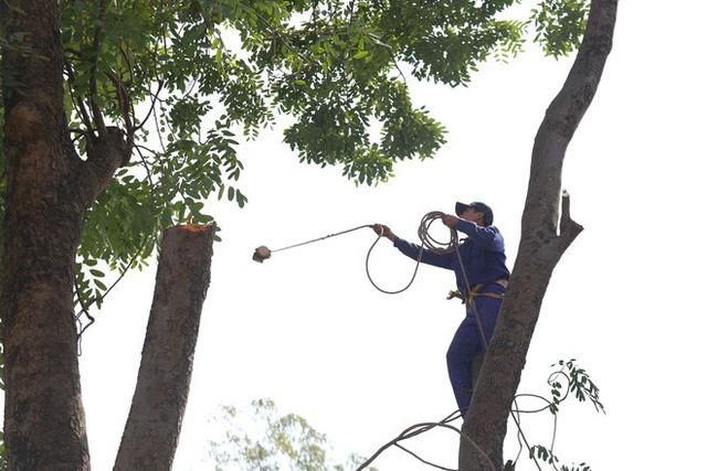 Ban ngày các công nhân sẽ cắt tỉa, đào hố quanh gốc để ban đêm đánh chuyển cây đi.