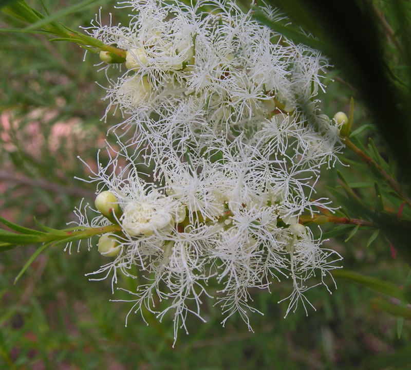 Flowering tea tree plant