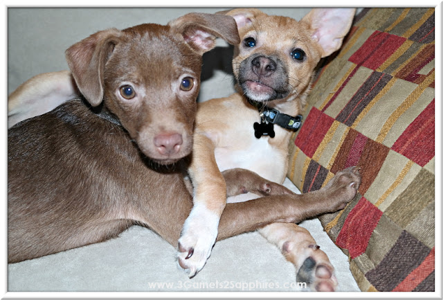 Our two rescued Chihuahua mix puppies  |  www.3Garnets2Sapphires.com
