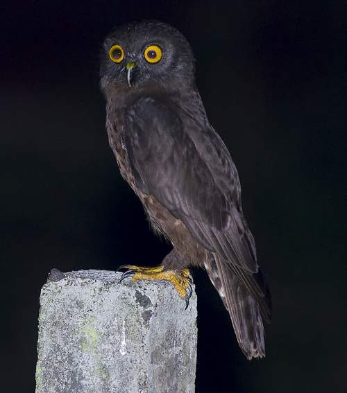 Birds of India - Photo of Hume's hawk-owl - Ninox obscura