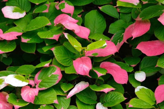 10 plantas trepadoras para climas fr os guia de jardin for Plantas de hojas perennes para jardin
