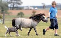 Bir çocuğun dizginin çektiği bir midilli atı ve küçük yavrusu
