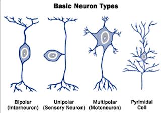 Pengelompokan Sistem Saraf Pada Manusia Dan Pengelompokan Neuron Berdasarkan Struktur