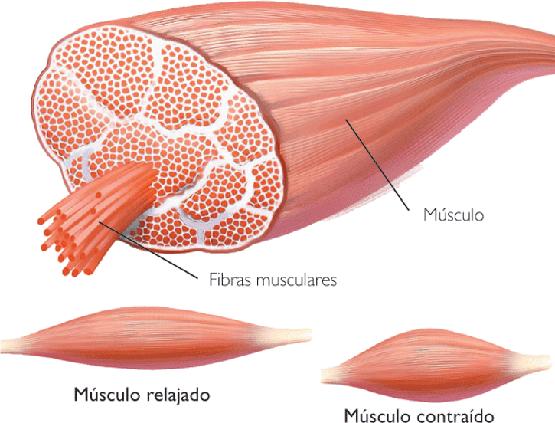 Regeneración del Tejido Muscular | Tratamiento Desgarros