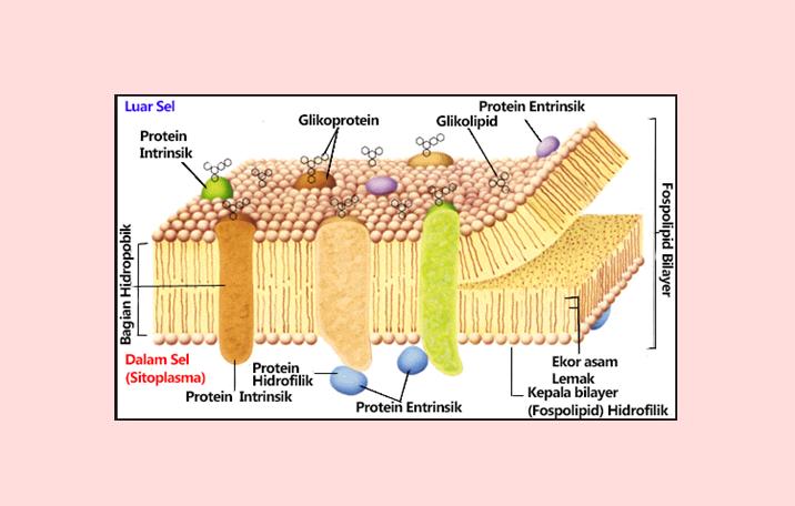 Sel pengertian struktur fungsi bagian ilmu dasar struktur membran sel ccuart Choice Image