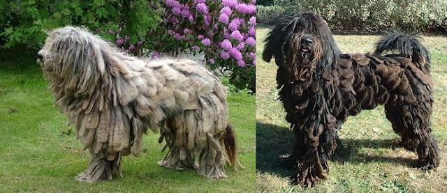 Bergamasco Çoban Köpeği Hakkında Bilgi