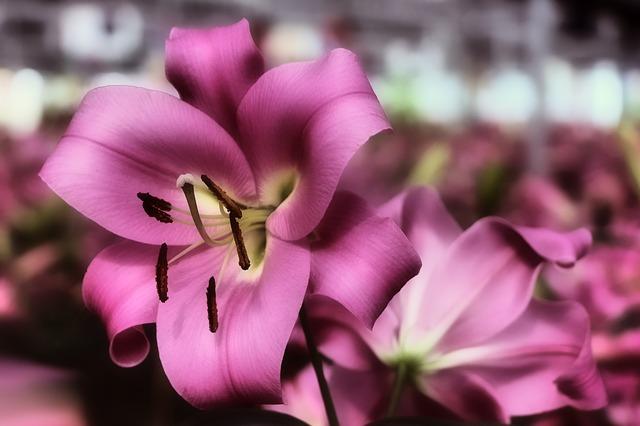 hoa ly trang dep nhat the gioi 7