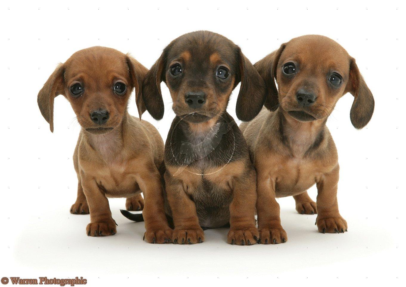Rottweiler Puppies Wallpaper