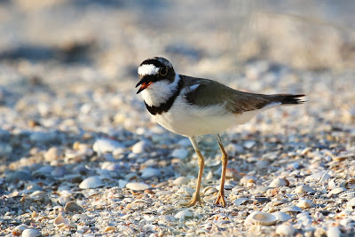 Малый зуек (Charadrius dubius) Little Ringed Plover