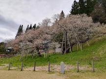 名古屋+中部北陸櫻花情報2019(更新4月29日)